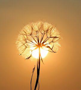 słońce za dmuchawcem